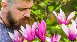 Bärtiger Mann mit neuem Haarschnitt schnüffelt Blüte der Magnolie Mann mit Bart und dem Schnurrbart auf ruhigem Gesicht nahe Magn Stockfoto