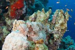 Bärtiger Scorpionfish Stockfotografie