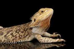 Bärtiges Dragon Llizard Lying auf Spiegel, lokalisierter schwarzer Hintergrund Stockfotos