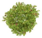 Bästa sikt av äppleträdet med röda äpplen som isoleras på vit Arkivfoto
