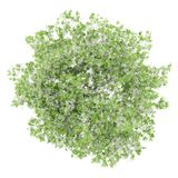 Bästa sikt av blomningcitronträdet som isoleras på vit Royaltyfri Bild