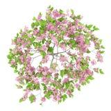 Bästa sikt av blomningplommonträdet som isoleras på vit Arkivfoto