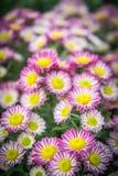 Bästa sikt av blomsterhandlares flowe för bakgrund, för rosa färger och för vit för Mun blomma Arkivfoto