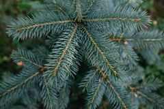 Bästa sikt av den blåa lilla granen, ungt granträd med blåa visare arkivbilder