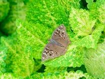 Bästa sikt av den bruna fjärilen som hänger på det gröna bladet (coleusen) Fotografering för Bildbyråer