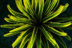 Bästa sikt av den lilla sagopalmträdväxten arkivbilder