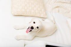 Bästa sikt av den vita valpen som ligger på soffan Fotografering för Bildbyråer