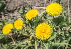 Bästa sikt av en ljus gul blomningmaskrosväxt Royaltyfri Fotografi