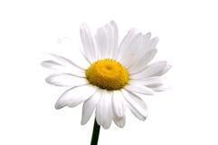 Bästa sikt av en vit tusensköna på en vit Arkivfoton