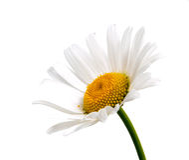 Bästa sikt av en vit tusensköna som isoleras på en vit Arkivbilder