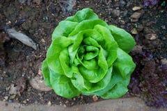 Bästa sikt av grön Butterhead grönsallat royaltyfri bild