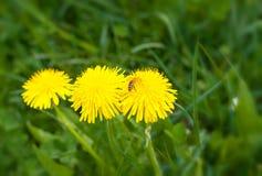 Bästa sikt av gula blommande maskrosor på bakgrund av grönt gräs i tidig vår royaltyfria foton