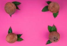 Bästa sikt av hela och organiska kokosnötter på en rosa bakgrund Hawaianska kokosnötter med sidor Uppsättning av sunda exotiska f royaltyfria bilder