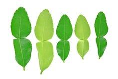 Bästa sikt av Kaffirlimefruktbladet som isoleras på vit bakgrund arkivbilder