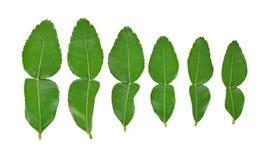 Bästa sikt av Kaffirlimefruktbladet som isoleras på vit bakgrund arkivfoto