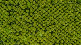 Bästa sikt av läderremmen för Forest Mangroves inTungklo eller guld- Mangro arkivbilder