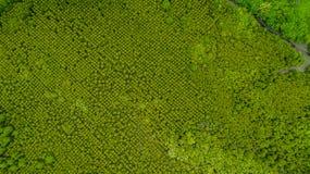 Bästa sikt av läderremmen för Forest Mangroves inTungklo eller guld- Mangro royaltyfri fotografi