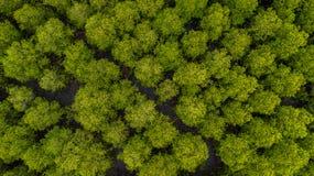Bästa sikt av läderremmen för Forest Mangroves inTungklo eller guld- Mangro arkivfoto