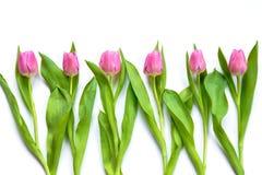 Bästa sikt av rosa tulpan som är ordnade i linje över vit bakgrund Arkivfoton