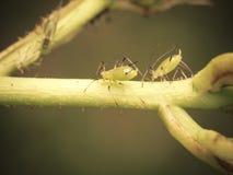 Bästa sikt av sugande bladlöss på en rosfors Royaltyfri Foto