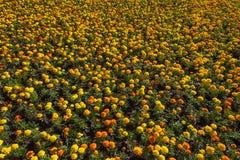 Bästa sikt av tagetes eller den färgrika blomsterrabatten för ringblomma Royaltyfria Foton