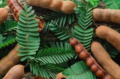 Bästa sikt av tamarindfrukt med gröna sidor Tropiskt utforma Arkivfoto