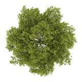 Bästa sikt av trädet för vit aska som isoleras på vit vektor illustrationer