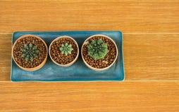 Bästa sikt av tre kaktuskrukor i den raka linjen på brunt tillbaka Arkivbild
