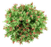 Bästa sikt av växten för pidgeonbärbuske som isoleras på vit Royaltyfria Foton