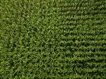 Bästa sikt för flyg- sikt av växter för grön havre i ett havrefält Fotografering för Bildbyråer