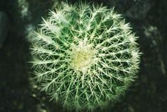 Bästa sikt för grön rund kaktus, naturbakgrund Royaltyfria Foton