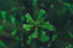 Bästa sikt för granträd Royaltyfria Foton