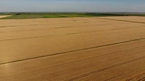 Bästa sikt för moget korn Fältet av korn arkivfilmer
