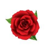 Bästa sikt för röd rosblomma som isoleras på den vita vektorn Arkivbilder