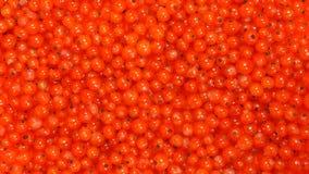 BÄSTA SIKT: Mogen röd vinbär Royaltyfri Foto