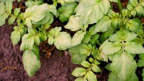 Bästa sikt, närbild av den unga potatisbusken Rader av unga gröna groddar av potatisar växer på lantgårdfältet, potatis arkivfilmer