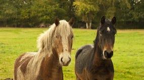 Bästa vän två ponnyer. Royaltyfria Bilder