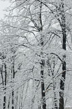 Bäume abgedeckt durch frischen Schnee Stockbild