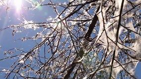 Bäume angesteckt mit Hermelinmottenlarven stock footage
