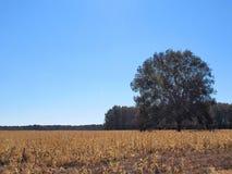 Bäume auf dem Maisgebiet stockbild