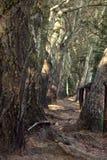 Bäume auf dem Wandern und Waldpfad Stockbilder