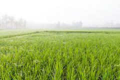 Bäume auf den Reisgebieten morgens Lizenzfreies Stockfoto