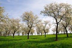 Bäume auf der Frühlings-Wiese Stockfoto