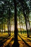Bäume auf einer Baumfarm am späten Nachmittag beleuchten Stockbilder