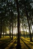 Bäume auseinander gesperrt und Sonnenursachenschatten auf dem Boden Stockbilder