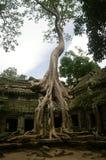 Bäume beherrschen Ta Prohm Stockfotos