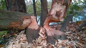 Bäume biten durch Biber stockbild