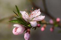 Bäume blühen Lizenzfreie Stockfotografie