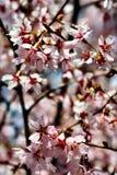 Bäume blüht im Frühjahr Lizenzfreies Stockbild