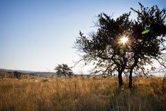 Bäume in Bushveld zentrierter Sonneneruption Stockbilder